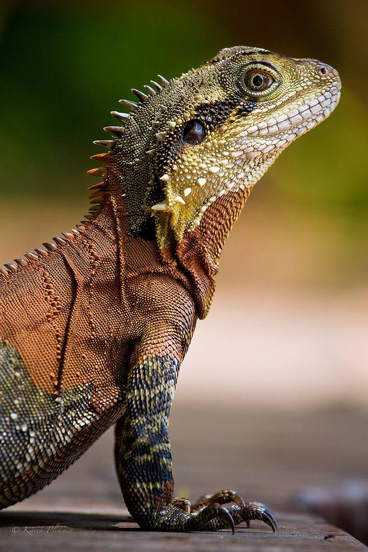 Eastern Water Dragon by Karen Plimmer Animals wild