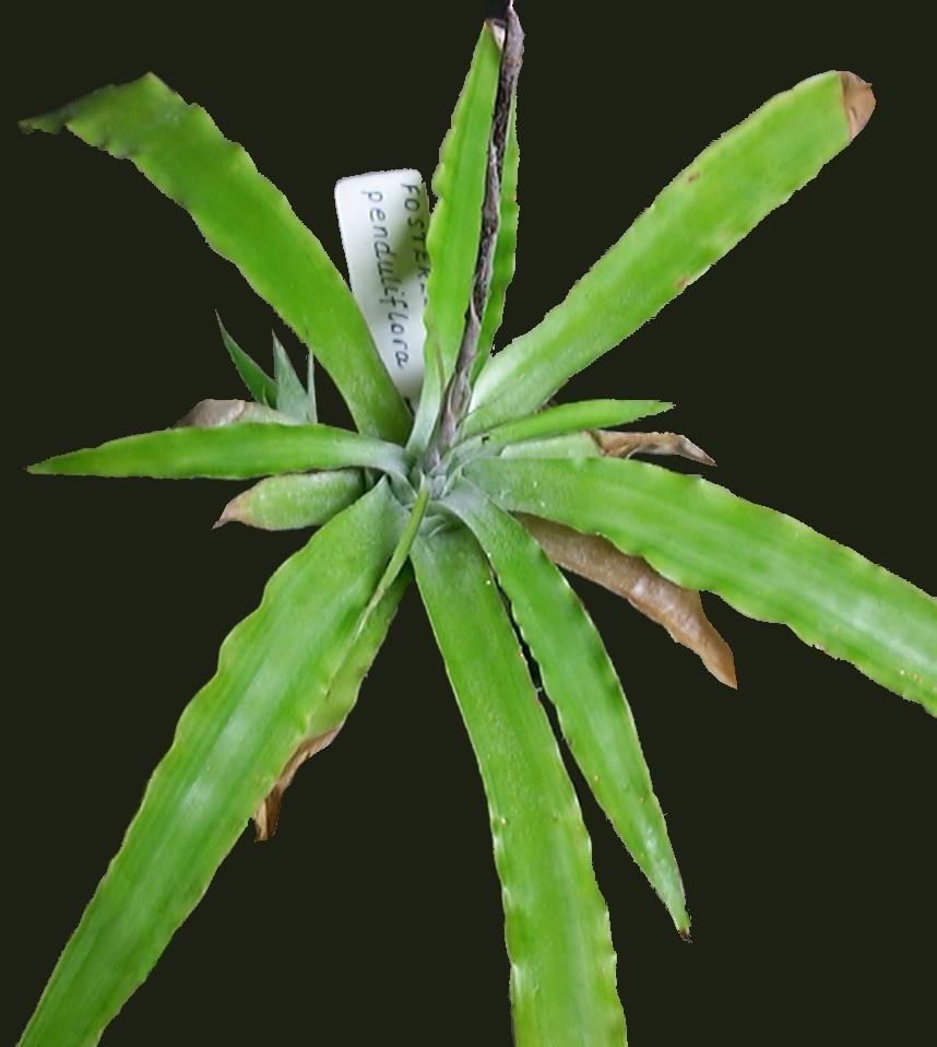 Fosterella penduliflora