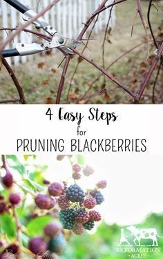 4 Easy Steps to Prune Blackberries {Video} - Reformation Acres