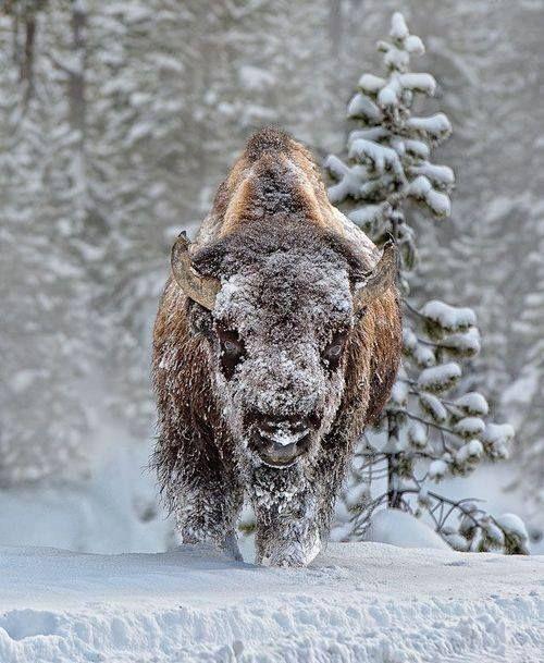 Buffalo | Animals | Pinterest | Animales, Búfalo y Naturaleza