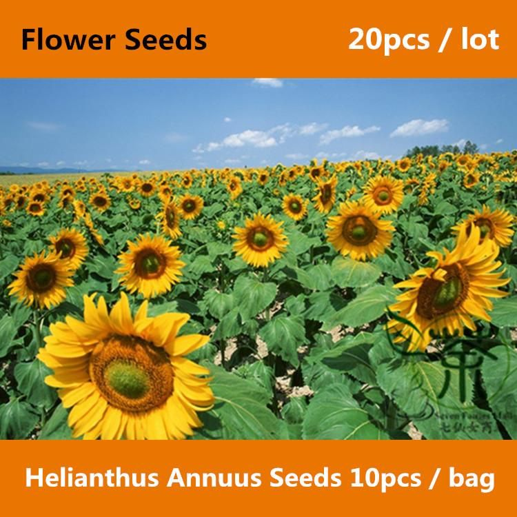 Buy Common Sunflower Helianthus Annuus Seeds Plant Flower Online Flower Seeds Ornamental Plants Types Of Sunflowers