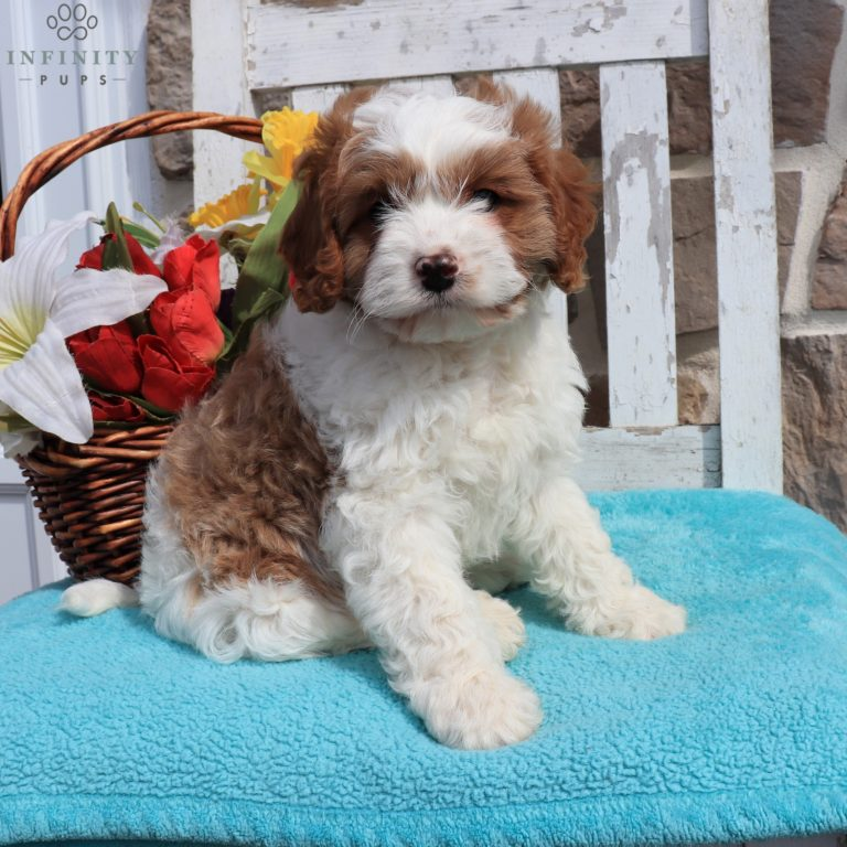 Cosmo F1 Infinity Pups Maltipoo Puppy Cavapoo Puppies Cute Dogs Breeds
