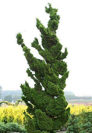 Chamaecyparis Obtusa Spiralis Dwarf Japanese Hinoki Cypress