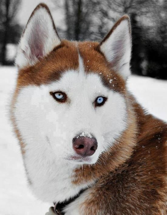Beautiful Blue Eyed Red White Siberian Husky In The Snow