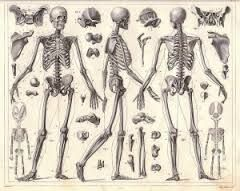 Esqueleto Humano Dibujo A Lapiz Buscar Con Google Enciclopedias Antiguas Pulpos Ilustracion Esqueleto Humano