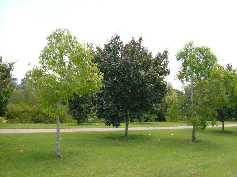 Hibiscus Tiliaceus Rubra Vegetation Hibiscus Garden Golf Courses