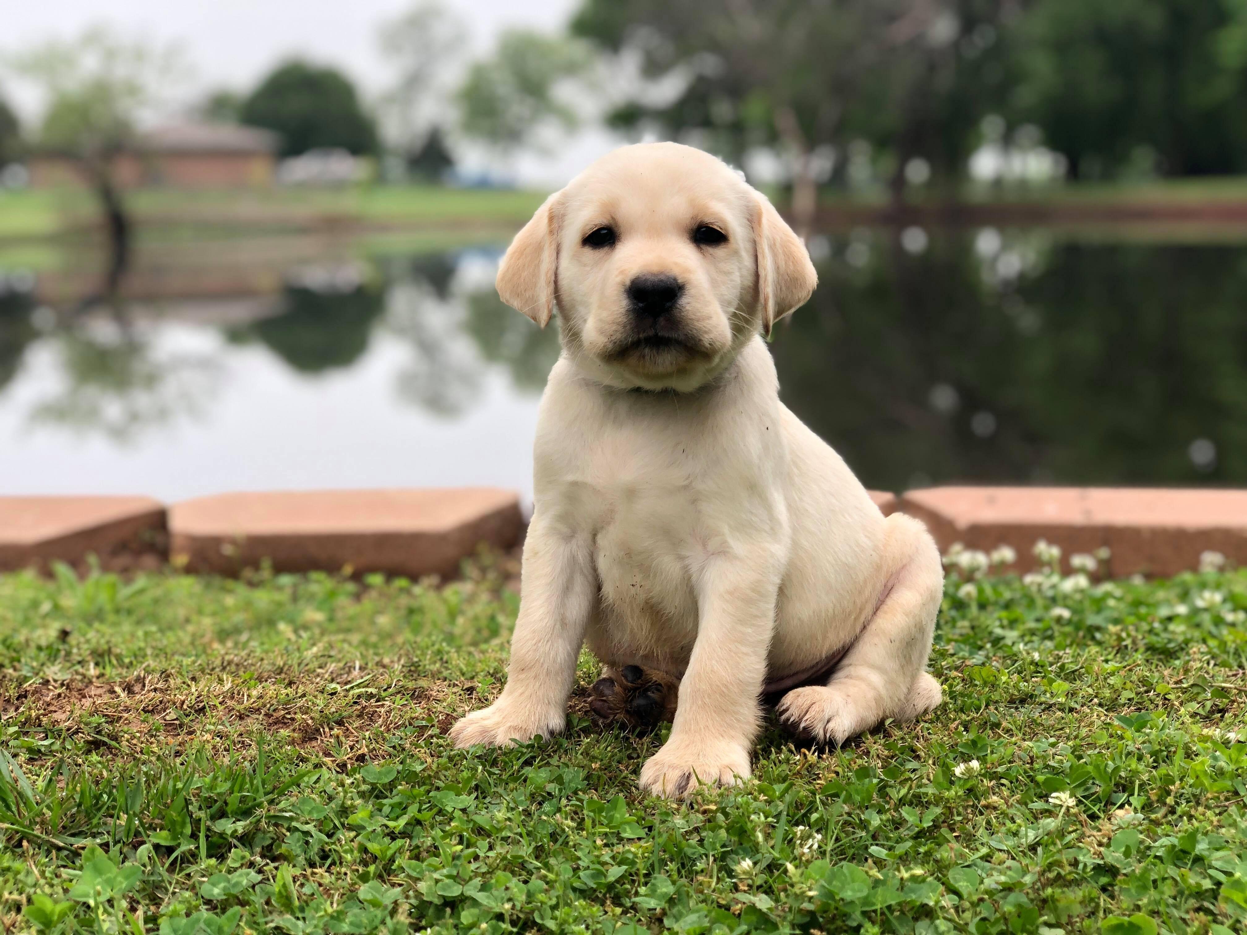 Best Lab Breeder in Texas Lab puppies, English labrador