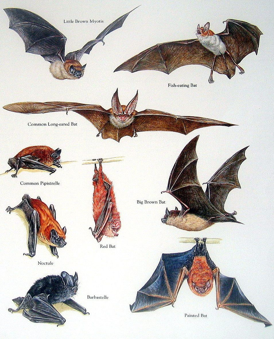Bats Illustrated Animal Infographics Fun Informations