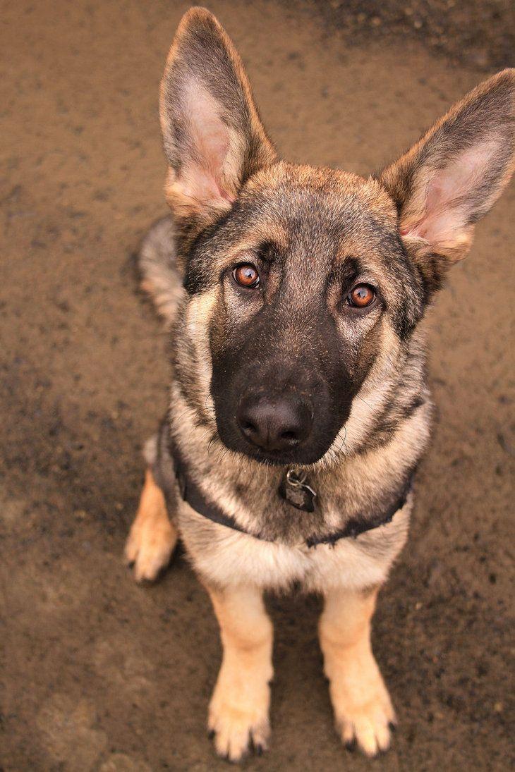 Sable German Shepherd 5 Months By Naturepunk Sable German