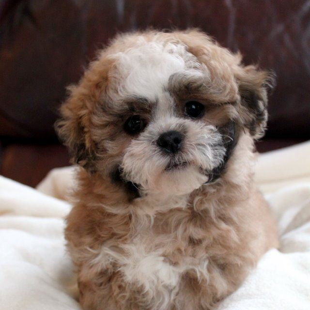Shichon Puppies On Pinterest Teddy Bear Puppies Bichon