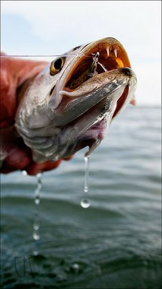 Sea Trout | Fishing | Fish, Trout fishing tips, Fish list