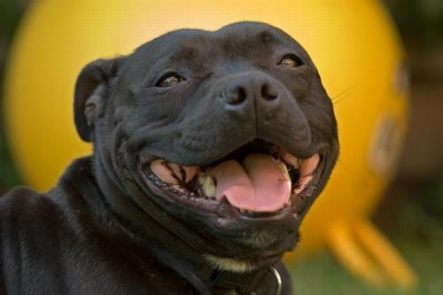 Staffordshire Bull Terrier In Fighting And Breeders Dog Breeds Pitbull Terrier Bull Terrier