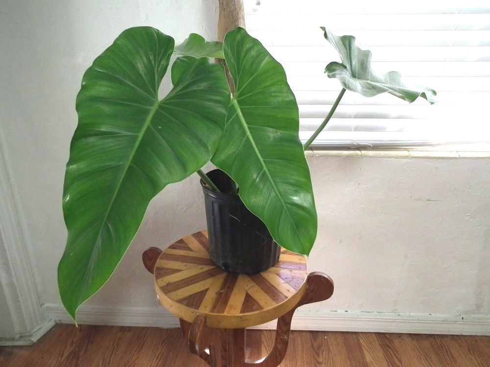 Large Rare Plant Philodendron Hastatum Tropical Shade