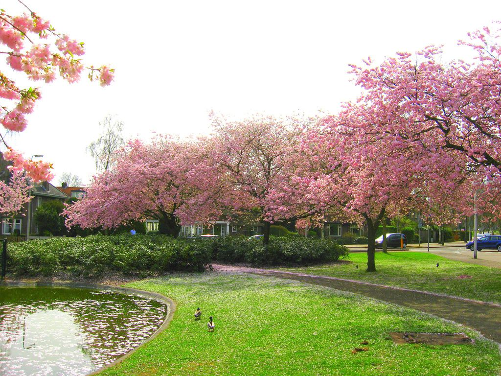 Cuidados cerezo del jap n royal burgundy verde jard n for Cuidados del jardin