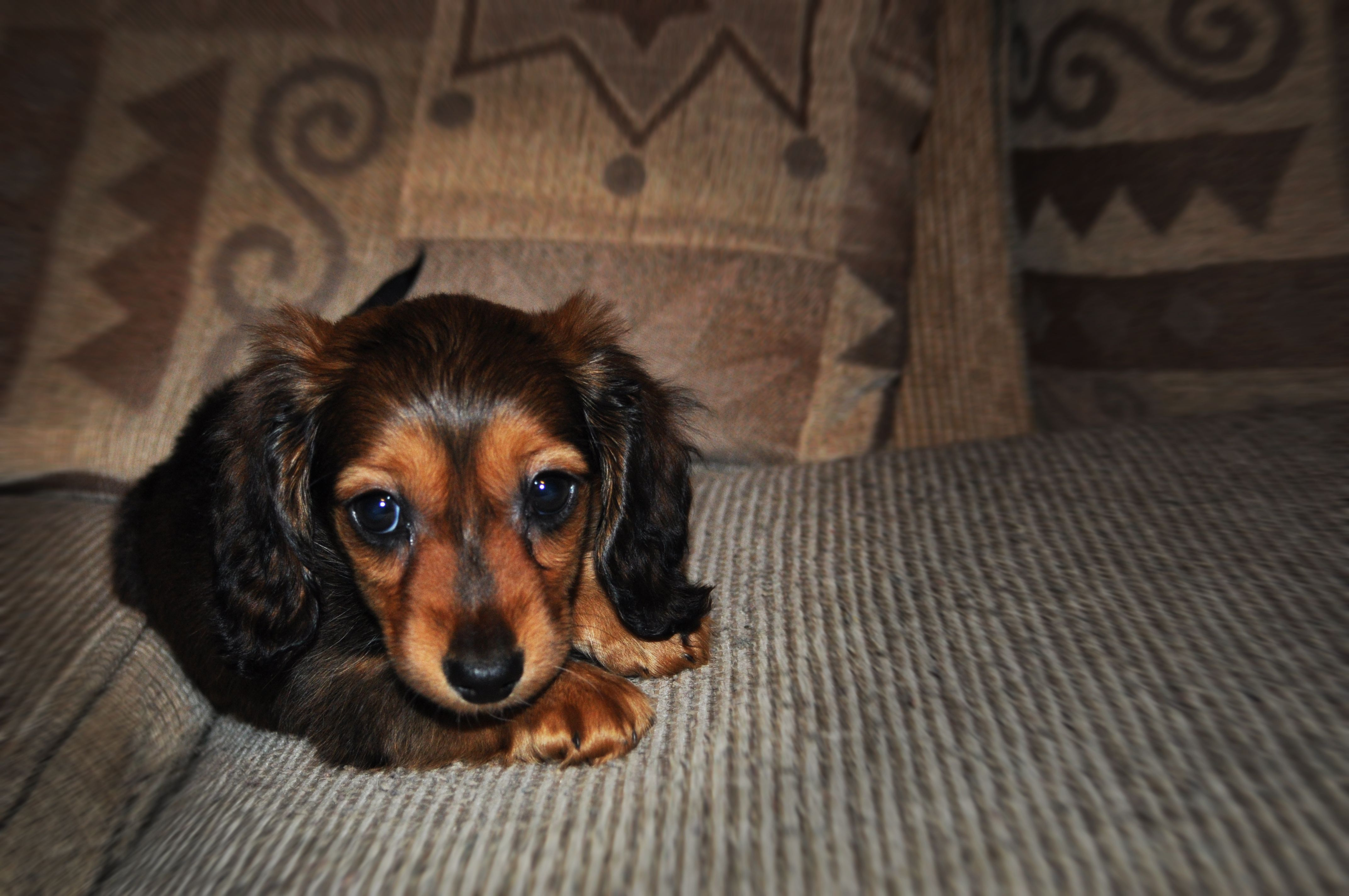 This Is Our Brindle Ish Red Long Haired Dachshund Puppy Darling