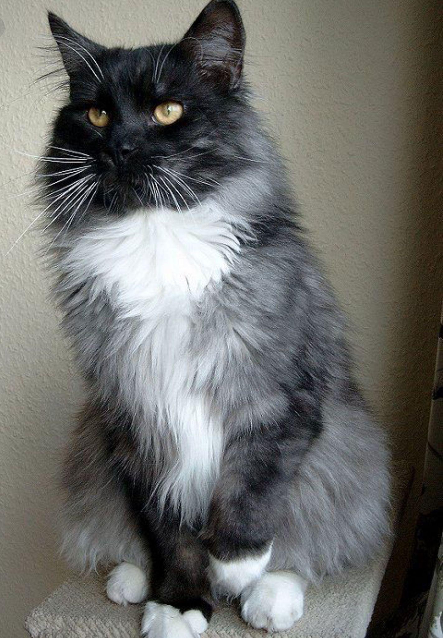 Pin By Shari Beckett On Grey Tuxedo Cats White Tabby Cat Cute Cats And Kittens Tabby Cat