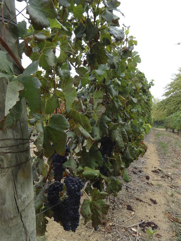 African vineyard