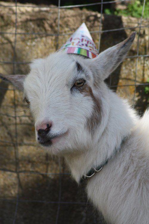 Birthday Goat It S My Birthday What Happy Birthday Goat Baby Goats Goats