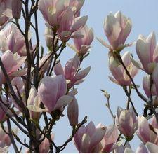 Tulip Magnolia.