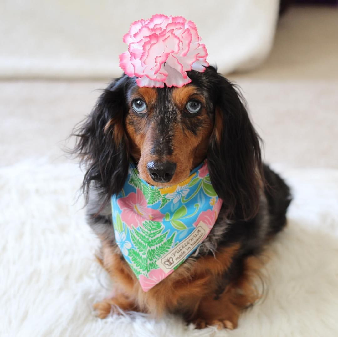 A Blue Eyed Dapple Dachshund Celebrating The Spring Weather In A