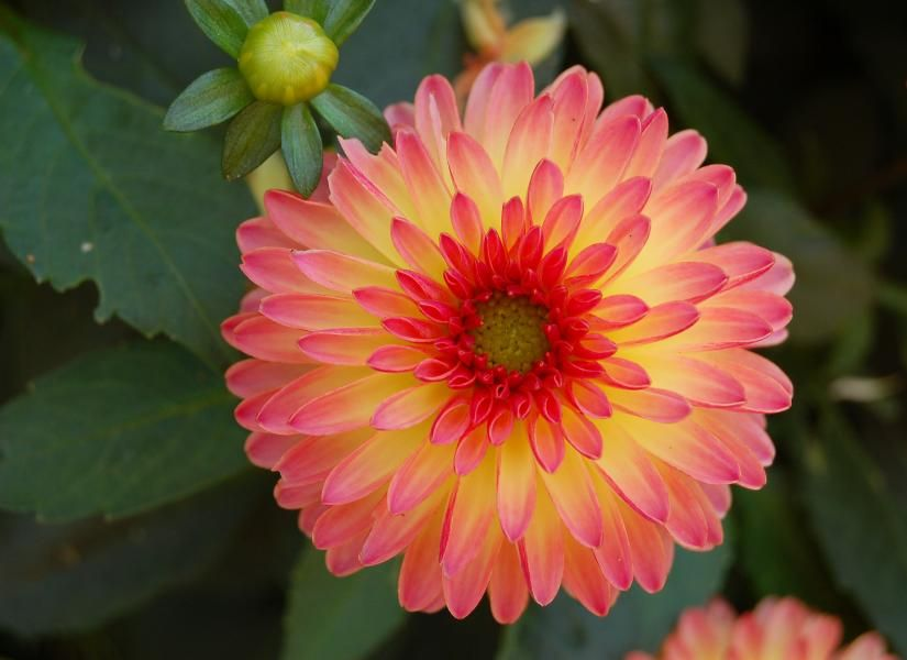 dahlia jaune signification