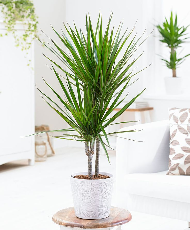 Image result for dracaena marginata plants pinterest for Dracaena marginata