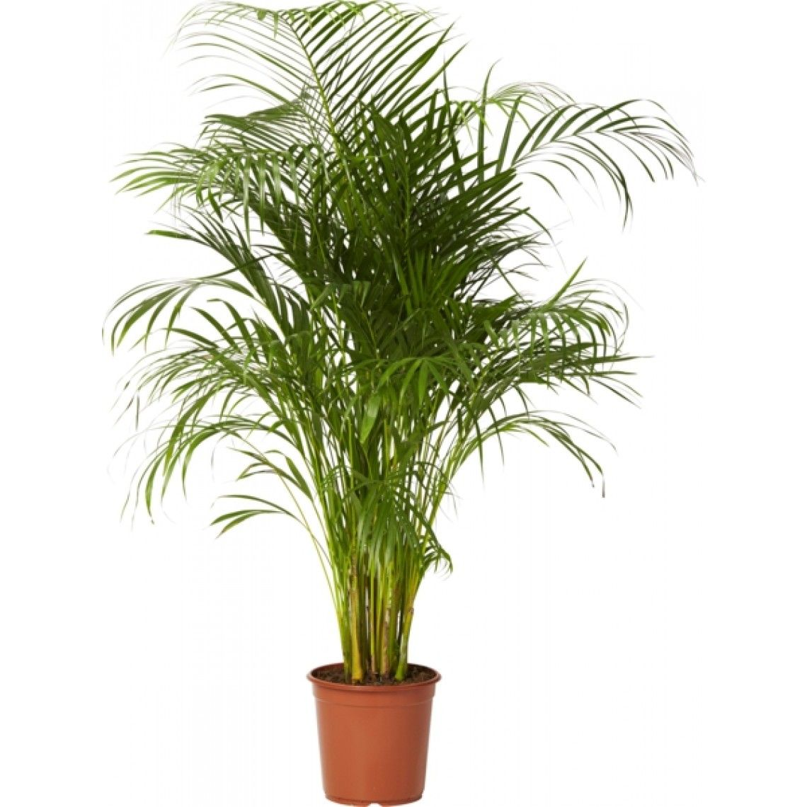 Puistokultapalmu non toxic to cats Plants, Planters