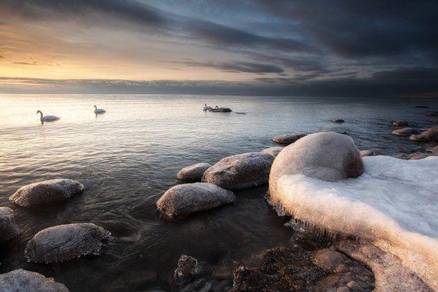 Swans on Lake Ontario