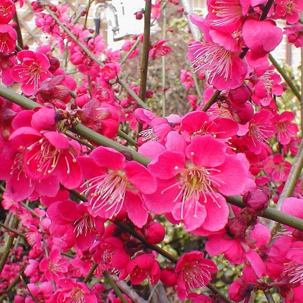 Prunus Mume For More Http Flowerhomes Blogspot Com Https Facebook Com Flowerofworld Https Www Facebook Com G Prunus Mume Flowering Trees Apricot Tree