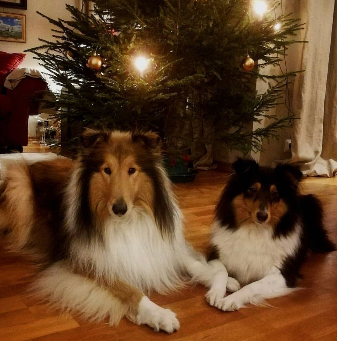 Idea By Elaine Bell On Dogs At Christmas Shetland Sheepdog