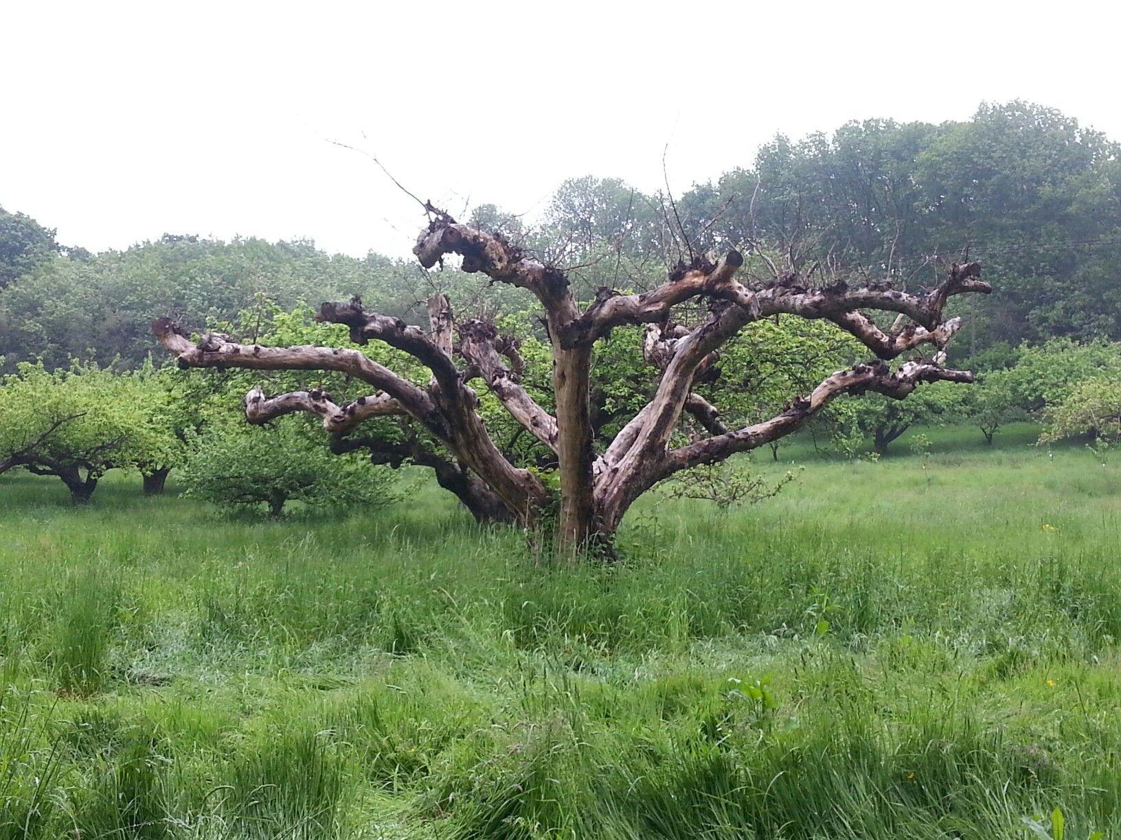 No Man's Orchard, Kent