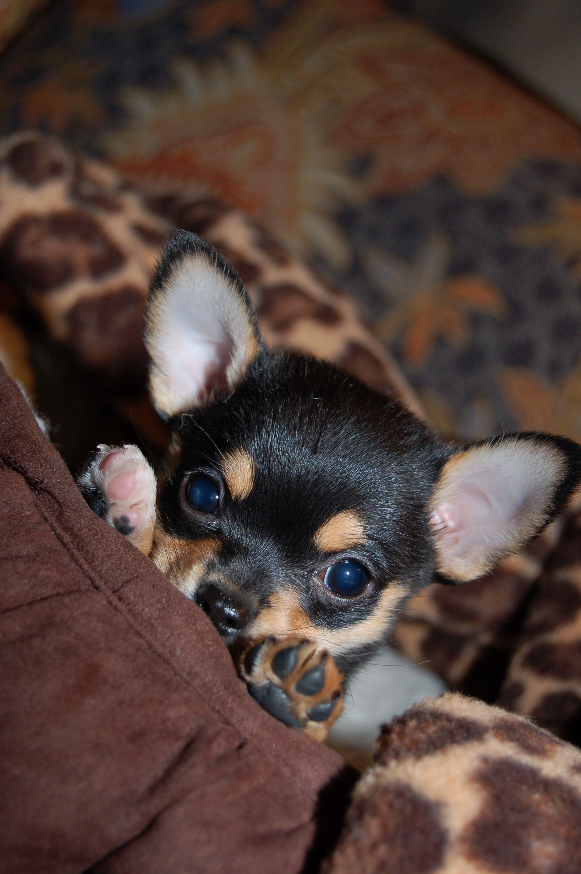 How Can You Say No To This Face Chihuahua Dogs Cute Chihuahua