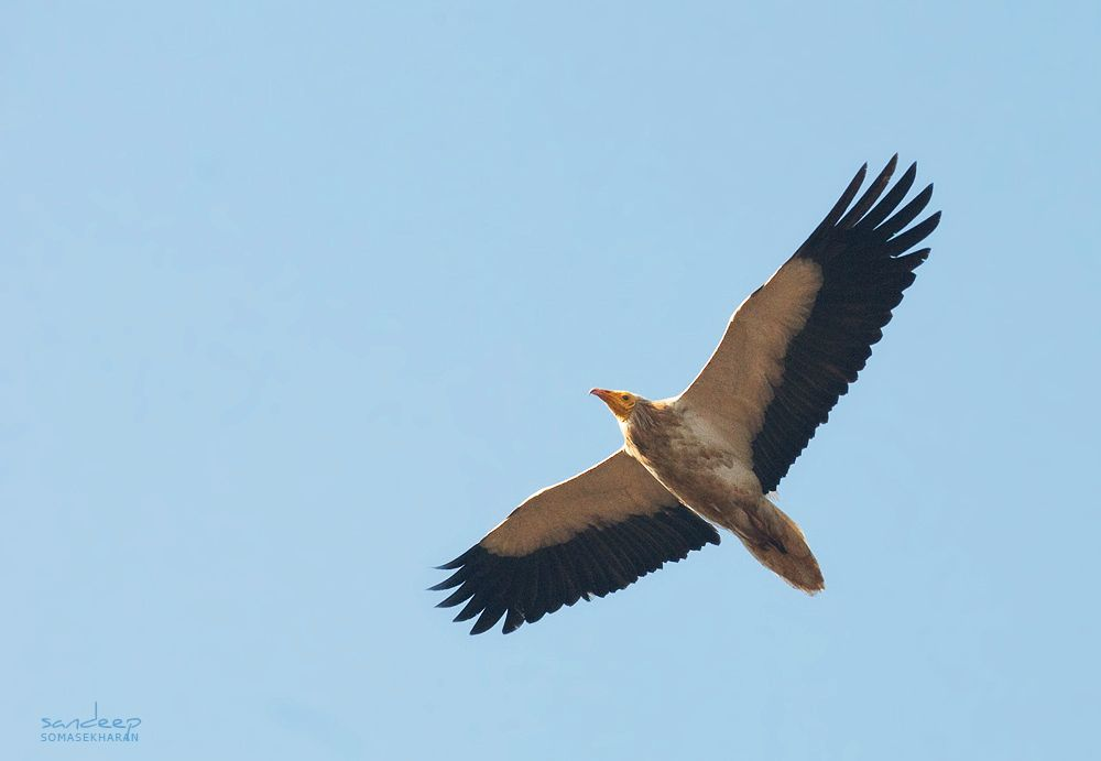 great indian scavenger vulture - Google Search