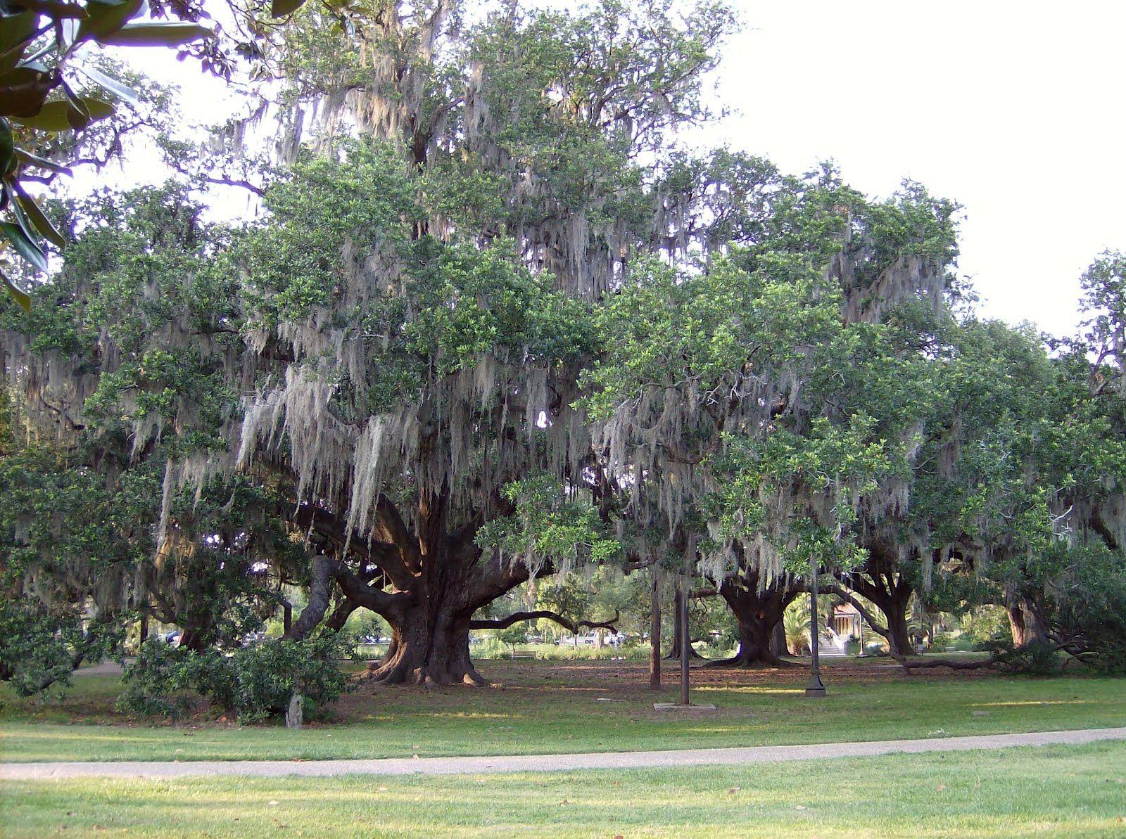 Tree Of Life New Orleans City Park Fig Street Weddings Chaplain Jerry Schwehm