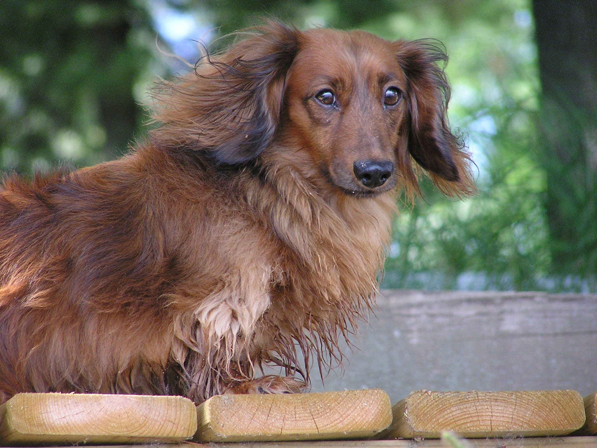 Is My Mascara Running Dachshund Dogs Animals