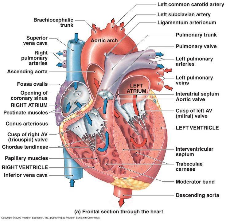 Heart Diagram: Right/left Atria, Right/left Ventricles, Pulmonary ...