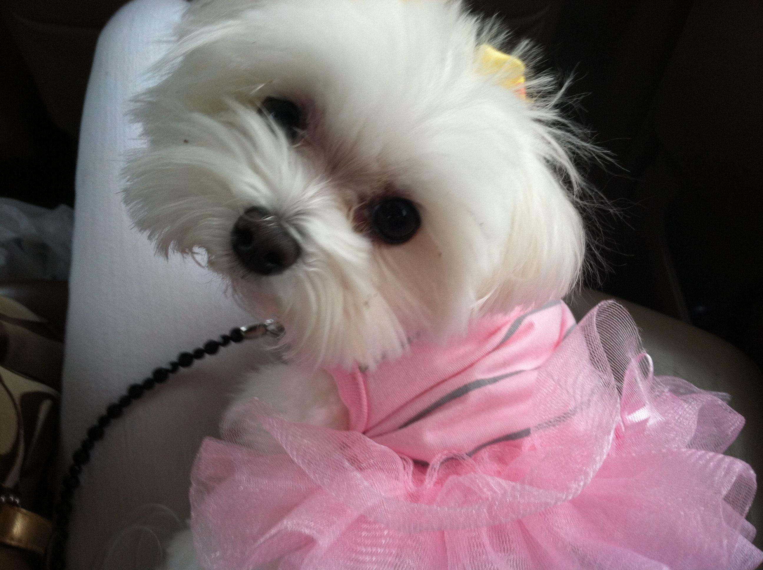 Pretty In Pink Malteser Hunde Bilder