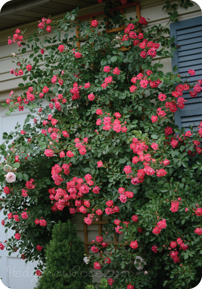 Growing A Flower Carpet 174 Rose As A Climber Hedgerow Rose