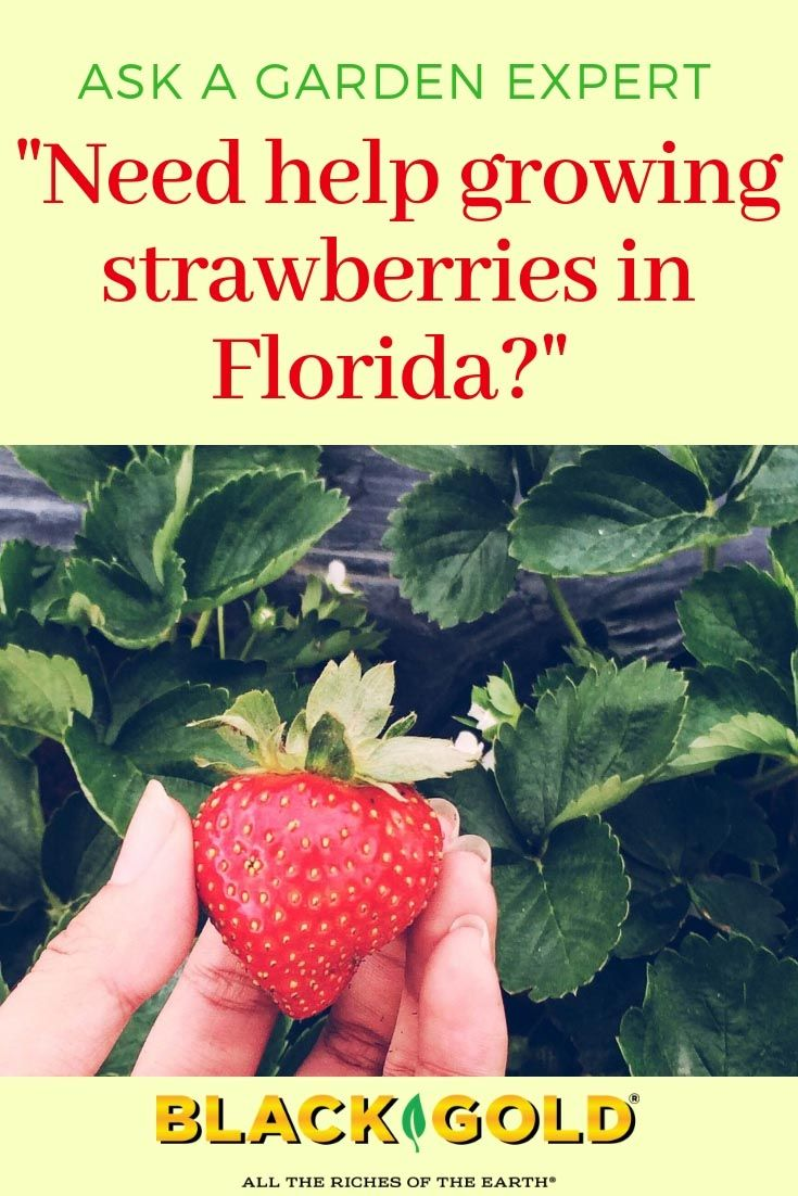 Growing Strawberries Indoors Or Out In Florida Guidelines