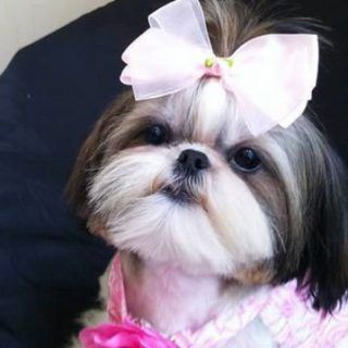Top 35 Female Shih Tzu Dog Names Shih Tzu Dog Shih Tzu Shih