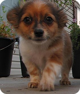 Staunton Va Pomeranian Border Terrier Mix Meet Mick A Puppy For Adoption Puppy Adoption Terrier Mix Border Terrier