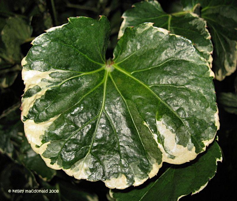 Plate Aralia Balfour Aralia \u0027Balfouriana\u0027 ( Polyscias & Aralia Polyscias | ... Plate Aralia Balfour Aralia \u0027Balfouriana ...