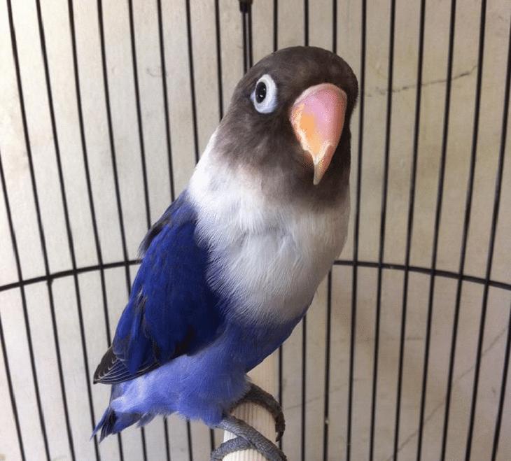 Cara Mencetak Lovebird Violet Yang Harus Anda Ketahui Burung Jalak