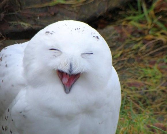 Owls are even more amazing when they get high
