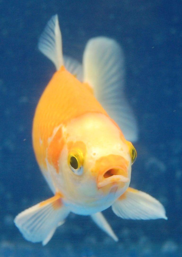 Goldfish Yellow And White Mugshot Goldfish Fish Fish Pet