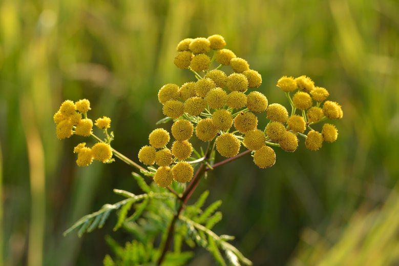 Wrotycz W Naturze Plants Herbs Garden