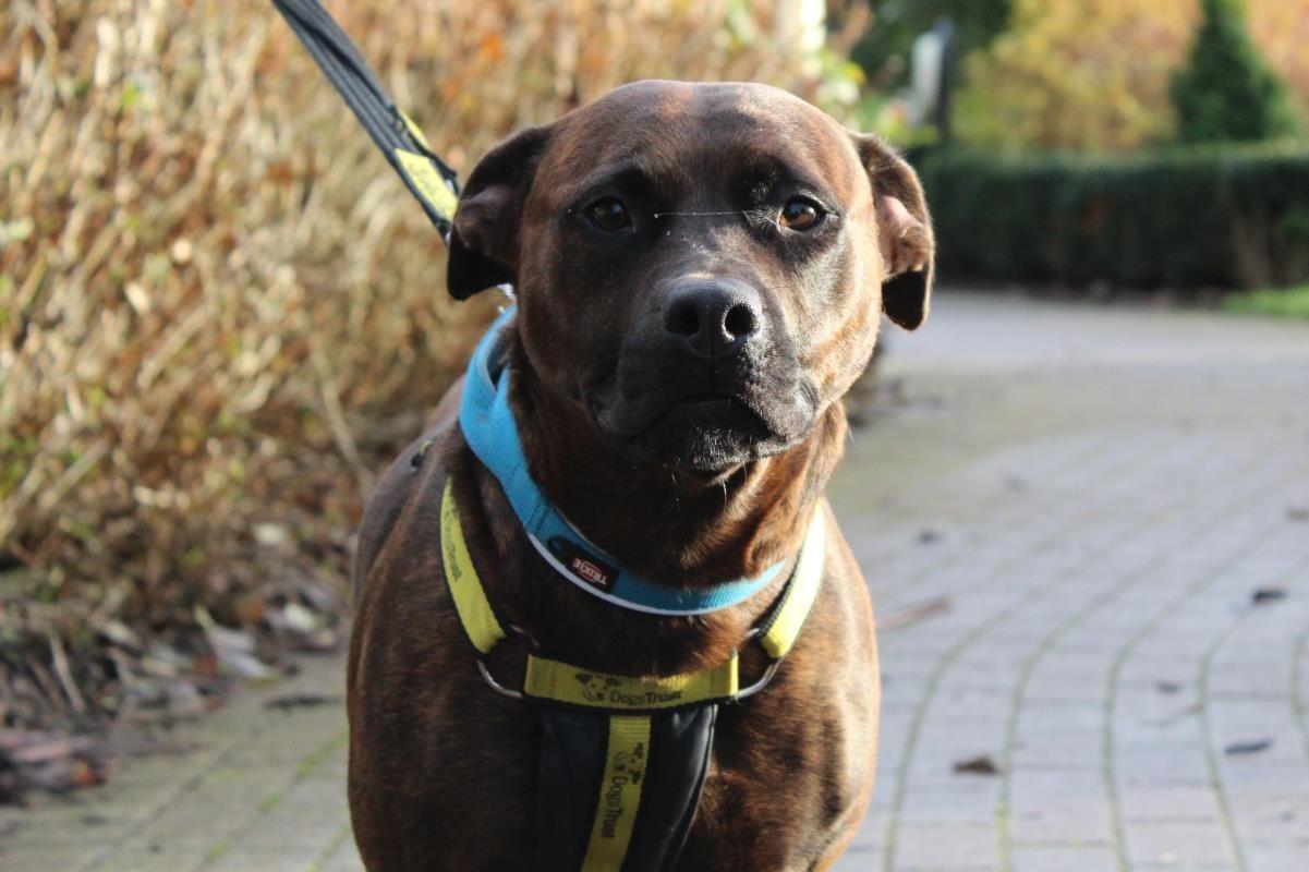Adopt A Dog Lola Staffordshire Cross Sbt Dogs Trust Dogs Dog Adoption Dogs Trust
