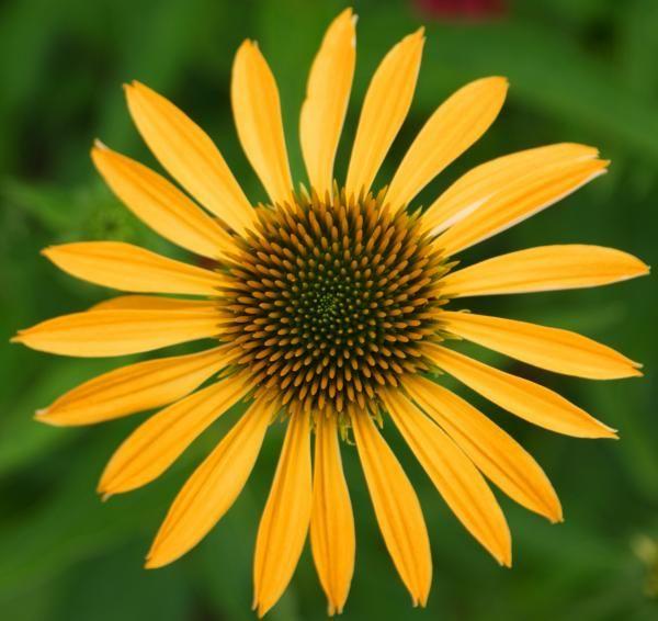 This Flower Has Rotational Symmetry Symmetry Nature Rotational Symmetry