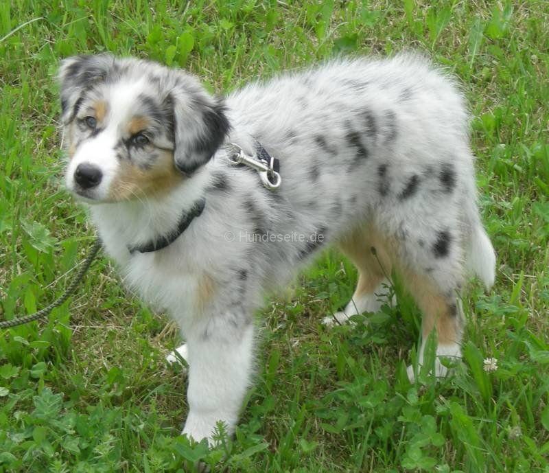 Australian Shepherd Dogs For Sale Pet Dog Breeds Australian Shepherd Australian Shepherd Dogs Aussie Dogs