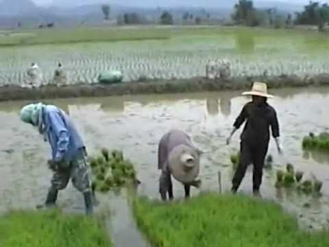 Far East, planting rice